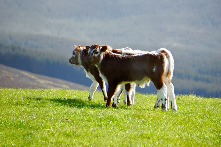 Two calves in a field.