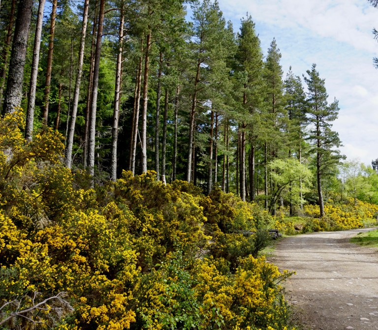 A woodland path next to yellow gorse and tall evergreen trees.
