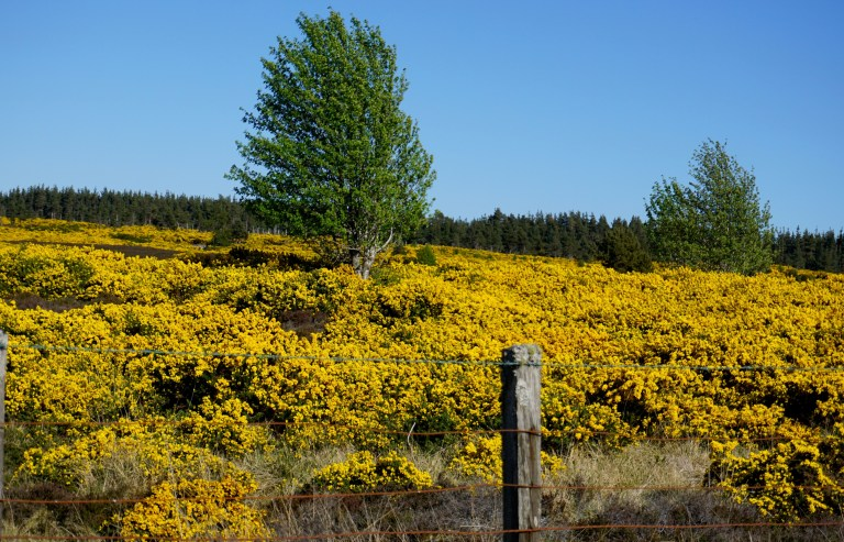 A field of yellow gorse.