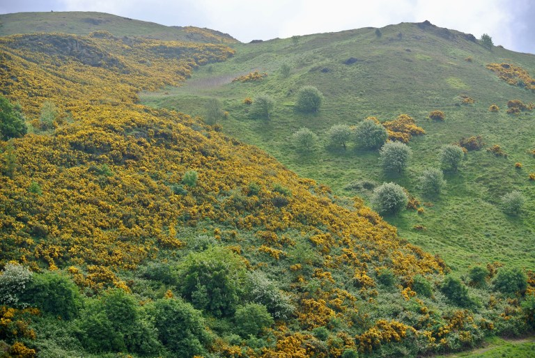 Yellow gorse growing on a hill at Holyrood Park in Edinburgh, Scotland.