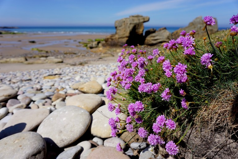 A coastal rock formation and blue water in the background, and a purple flowering shrub in the foreground.