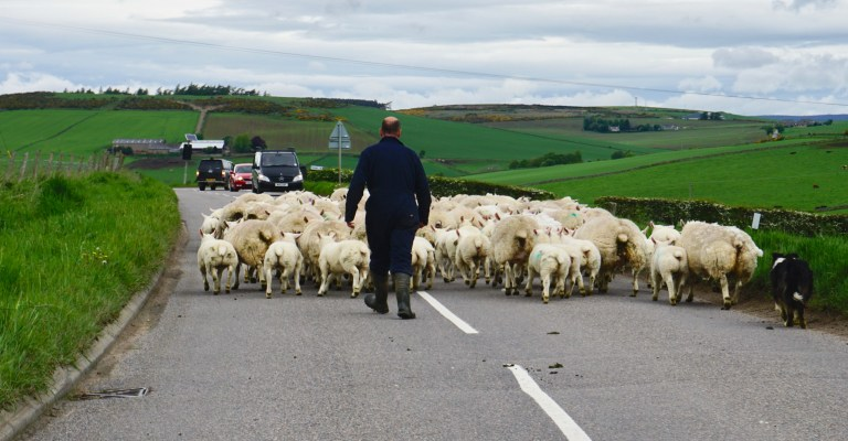 A farmer moving his flock of sheep on a road in Scotland.