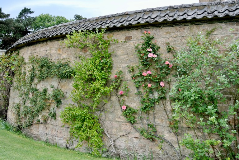 Roses climbing a stone wall.