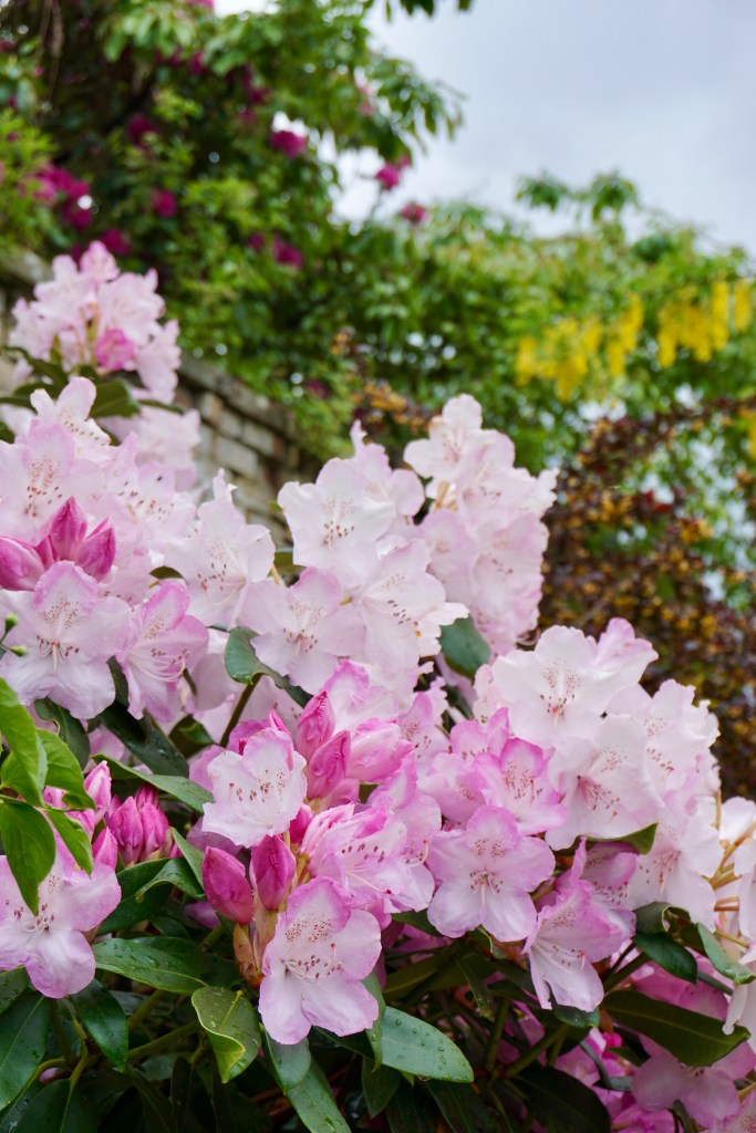Pink flowers in front of a stone wall.