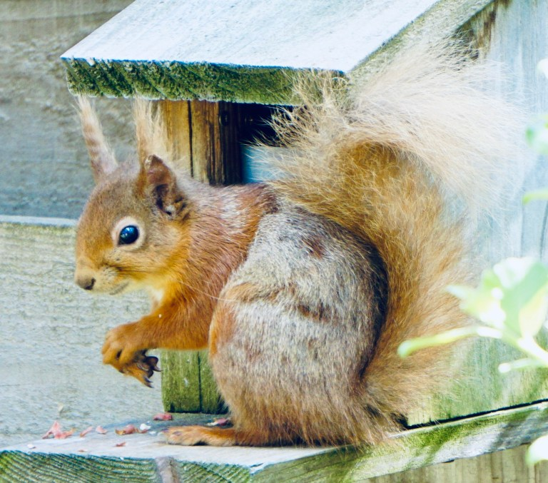 Red squirrel at a feeder