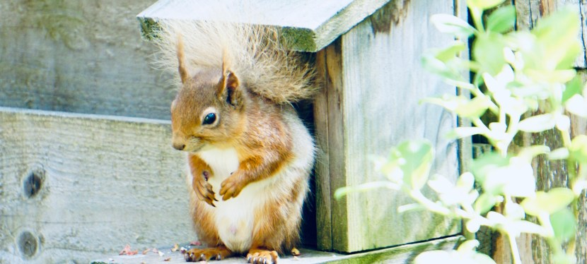 Scotland's Adorable Red Squirrels