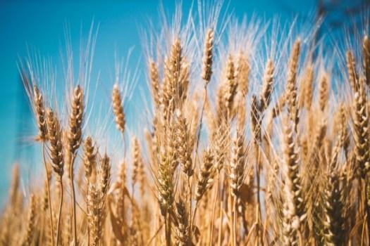 wheat-field_1088-323
