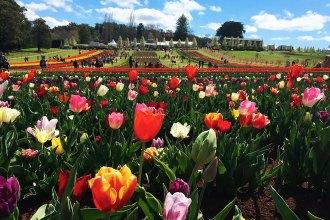 Tesselar Tulip festival
