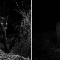 Ultra rare black leopard is photographed for the first time in 100 years