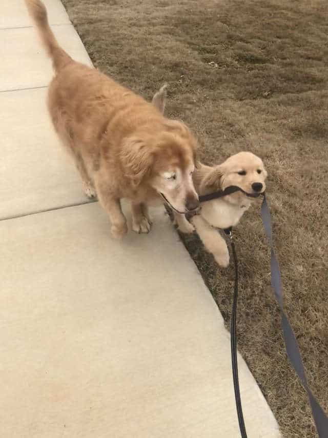 Blind golden retriever gets his own 'seeing-eye' puppy and now they are BFFs