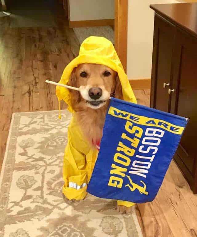 Spencer the therapy dog prepared to cheer Boston Marathon runners