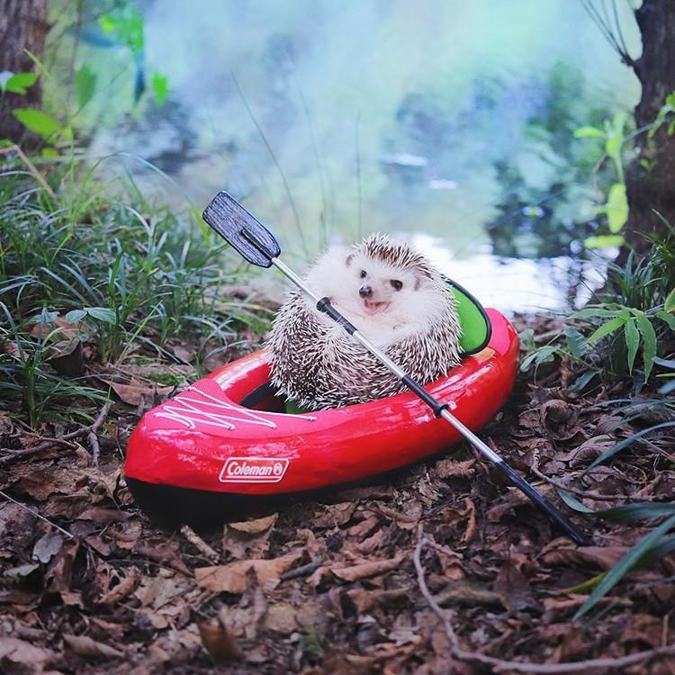 azuki-camping-hedgehog-2