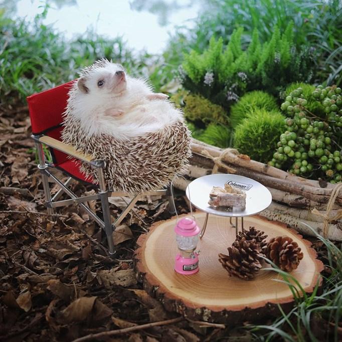 azuki-camping-hedgehog-7