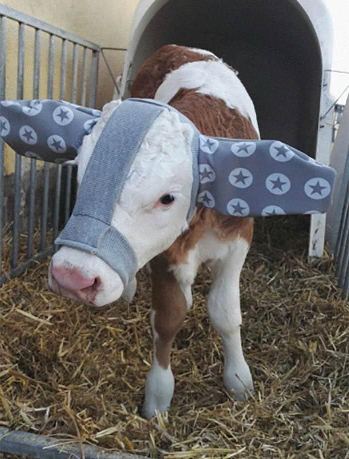 cute-cows-earmuffs-farmers