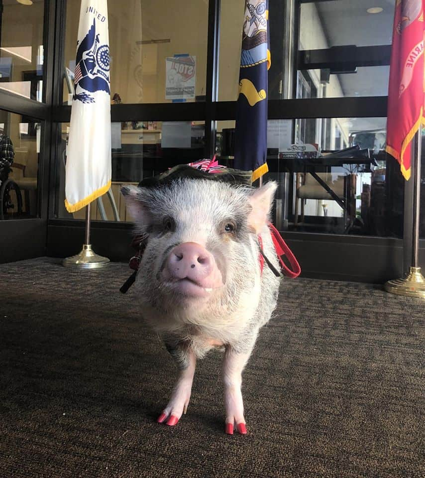 Adorable therapy pig.