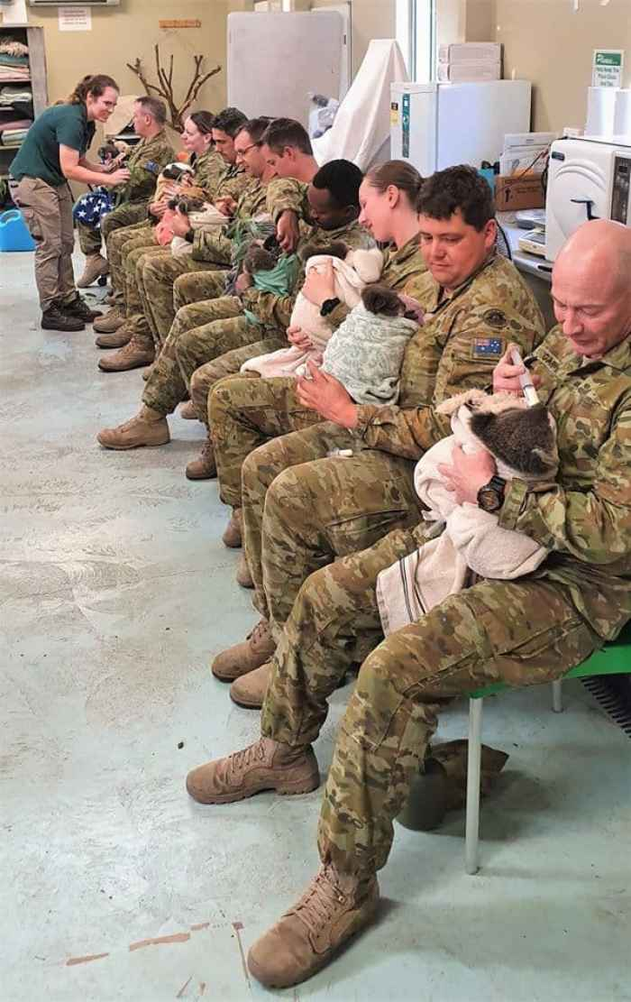 Australian army soldiers taking care of injured Koalas.