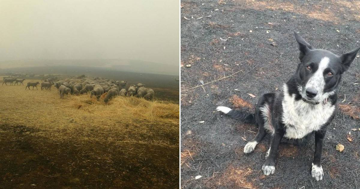 Heroic dog leads 900 sheep to safety during Australian wildfires - my positive outlooks