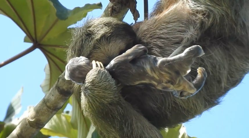 3 toed sloth giving birth