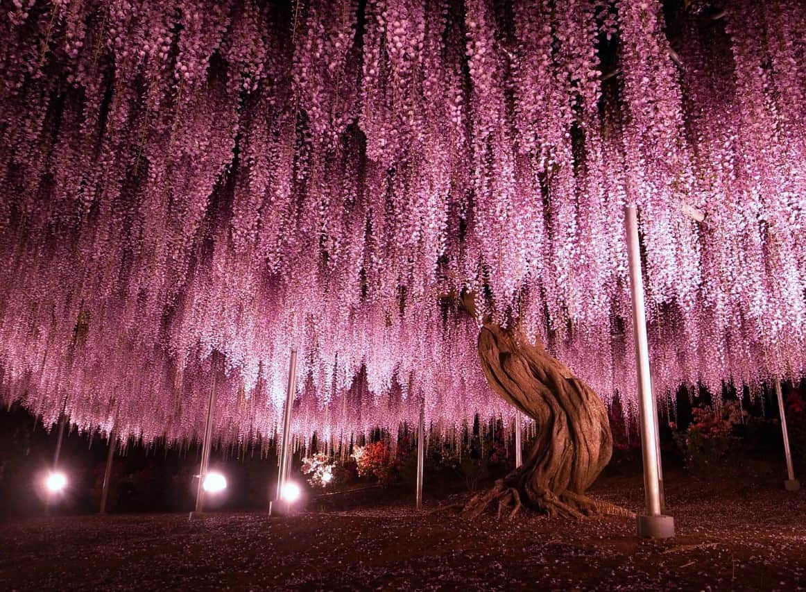 A beautiful environment with the wisteria tree.