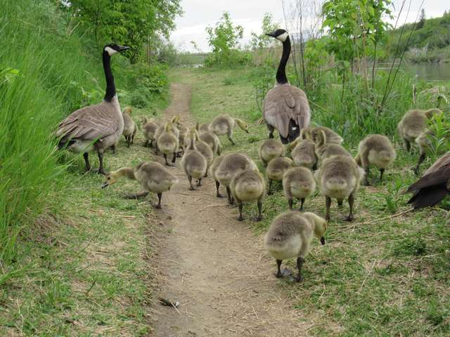 Canadian goose with 47 goslings.
