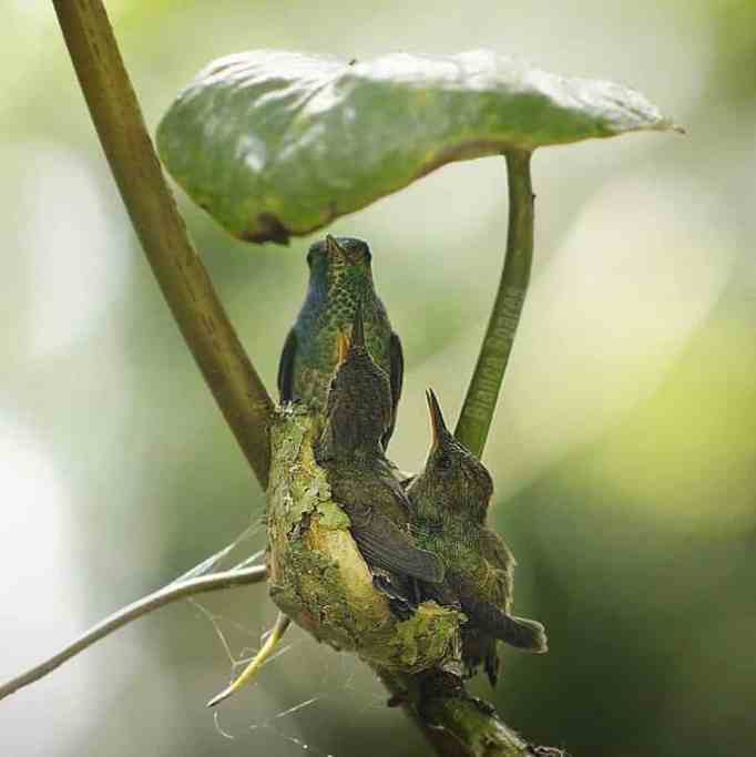 Nest protected by a giant leaf.