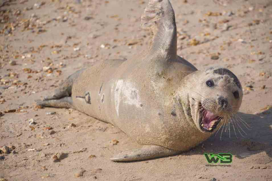 Sammy the friendly seal at Weymouth beach