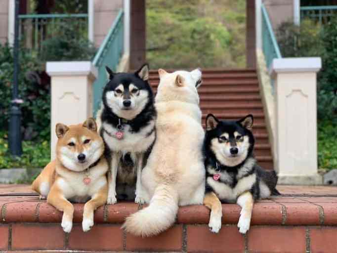 Shiba Inu dogs Kikko, Sasha, Momo, and Hina posing for a photo