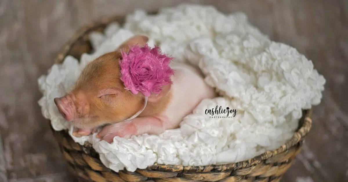 Piglet named 'Dynamite' captures hearts with adorable newborn photoshoot - my positive outlooks