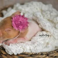 A piglet named 'Dynamite' captures hearts with adorable newborn photoshoot