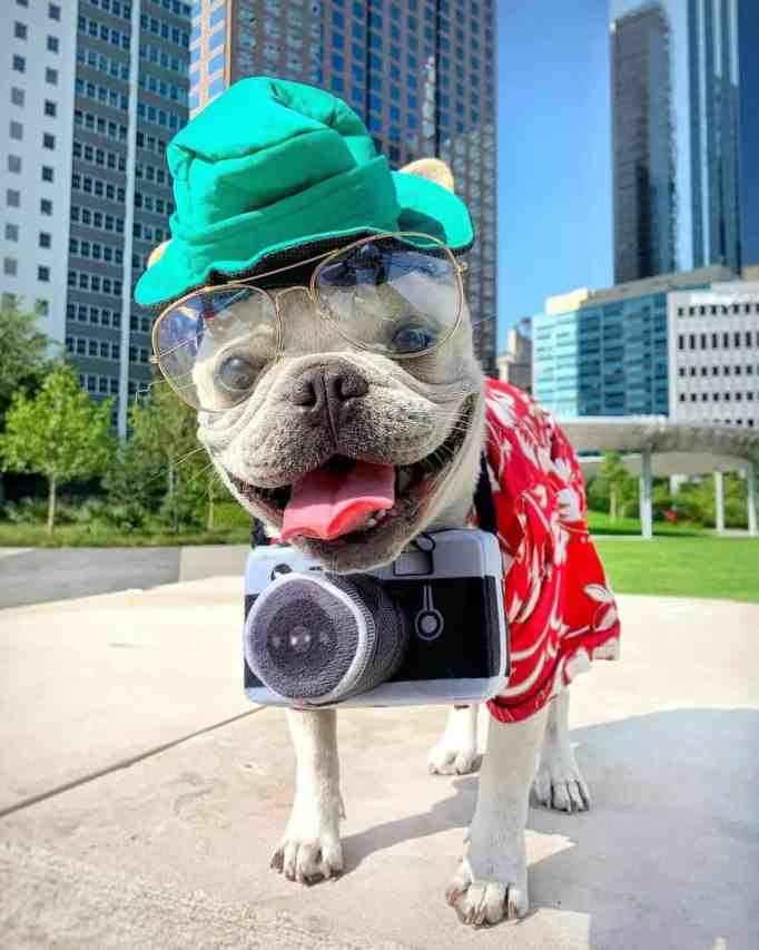 Toad the French bulldog wearing his Halloween costume