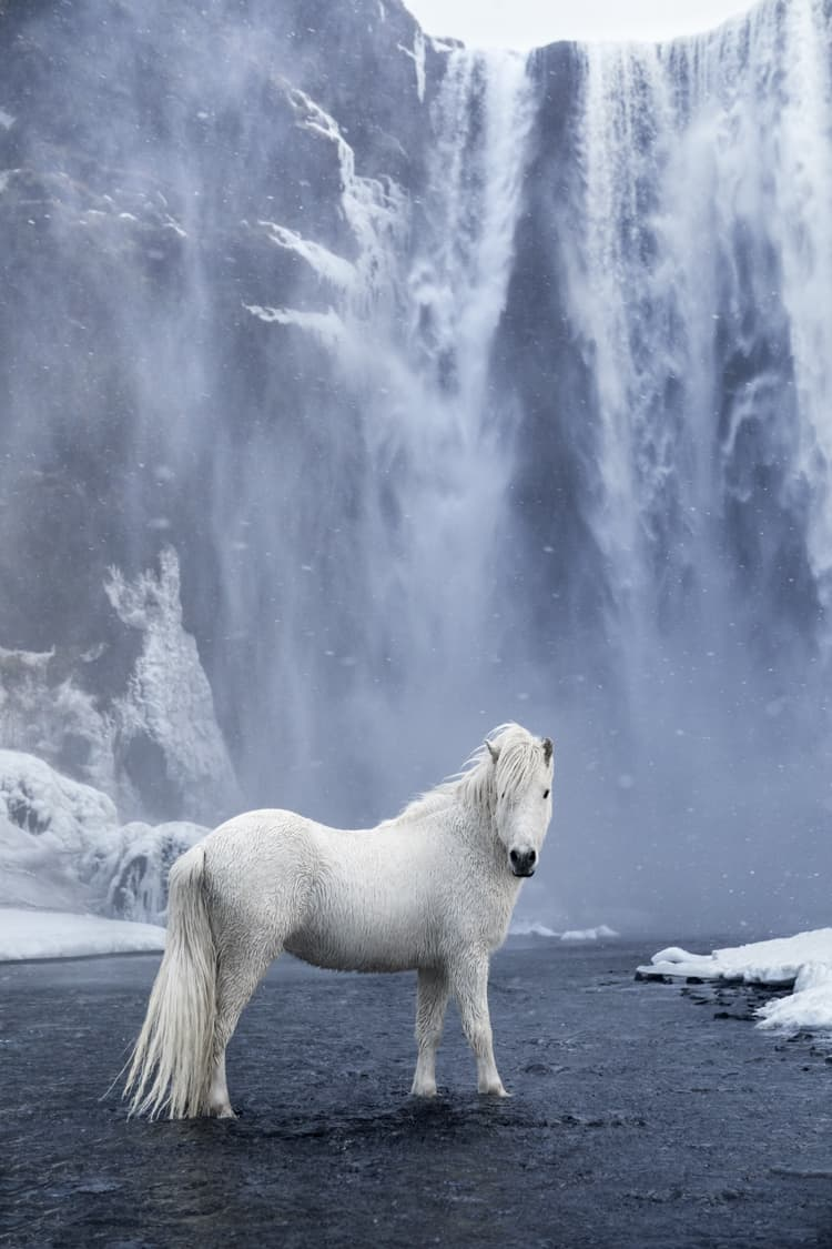 Iceland horse in front of a waterfall