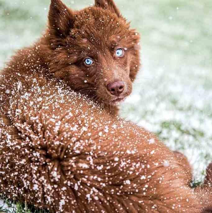 SeQuoi Tenk the rare chocolate brown Siberian Husky