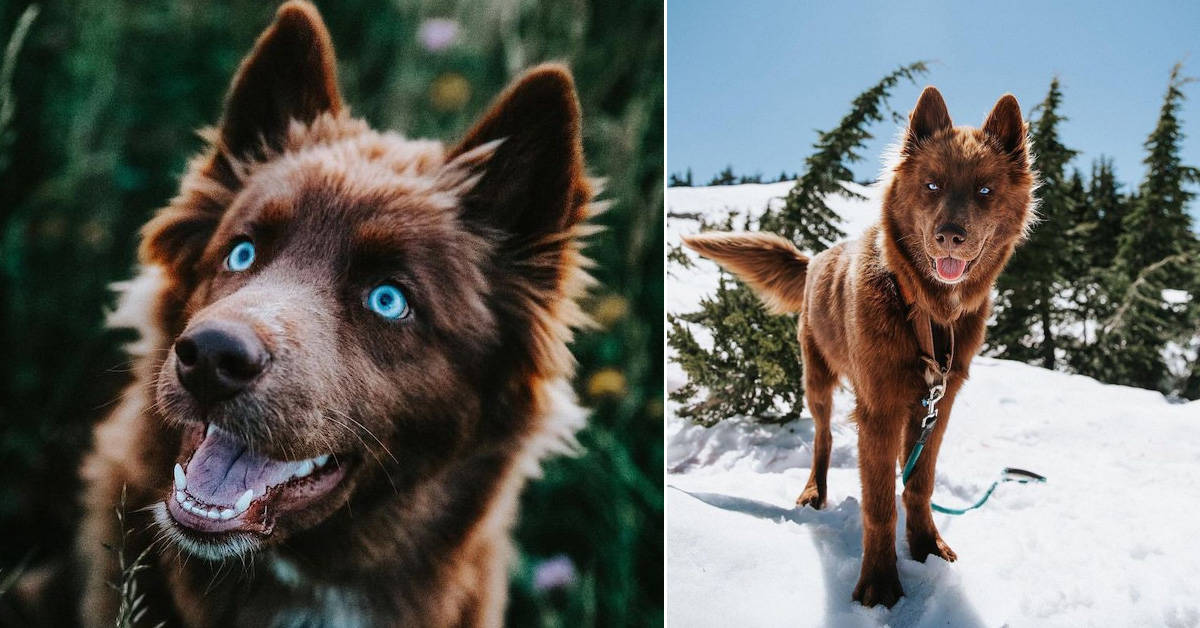 This ultra rare chocolate brown Siberian Husky might be the most beautiful dog on Instagram today - my positive outlooks