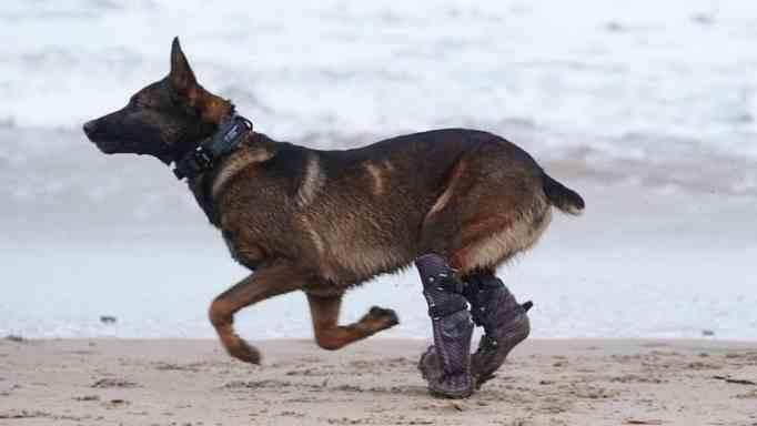 Kuno with prosthetic limbs