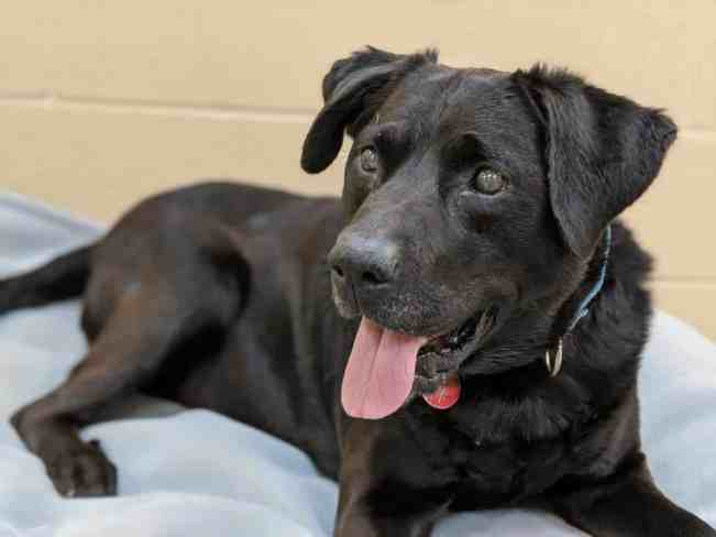 Capone the Labrador retriever mix finally found his forever home after spending 1,134 days in the animal shelter