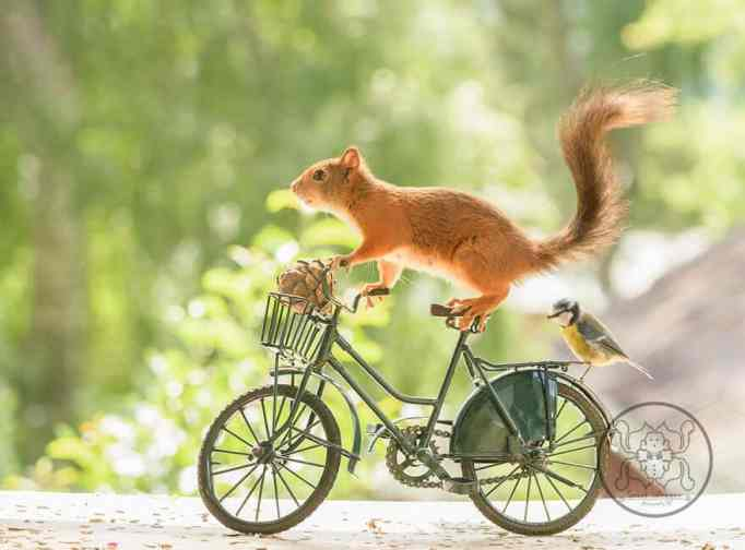 Squirrel riding a bicycle