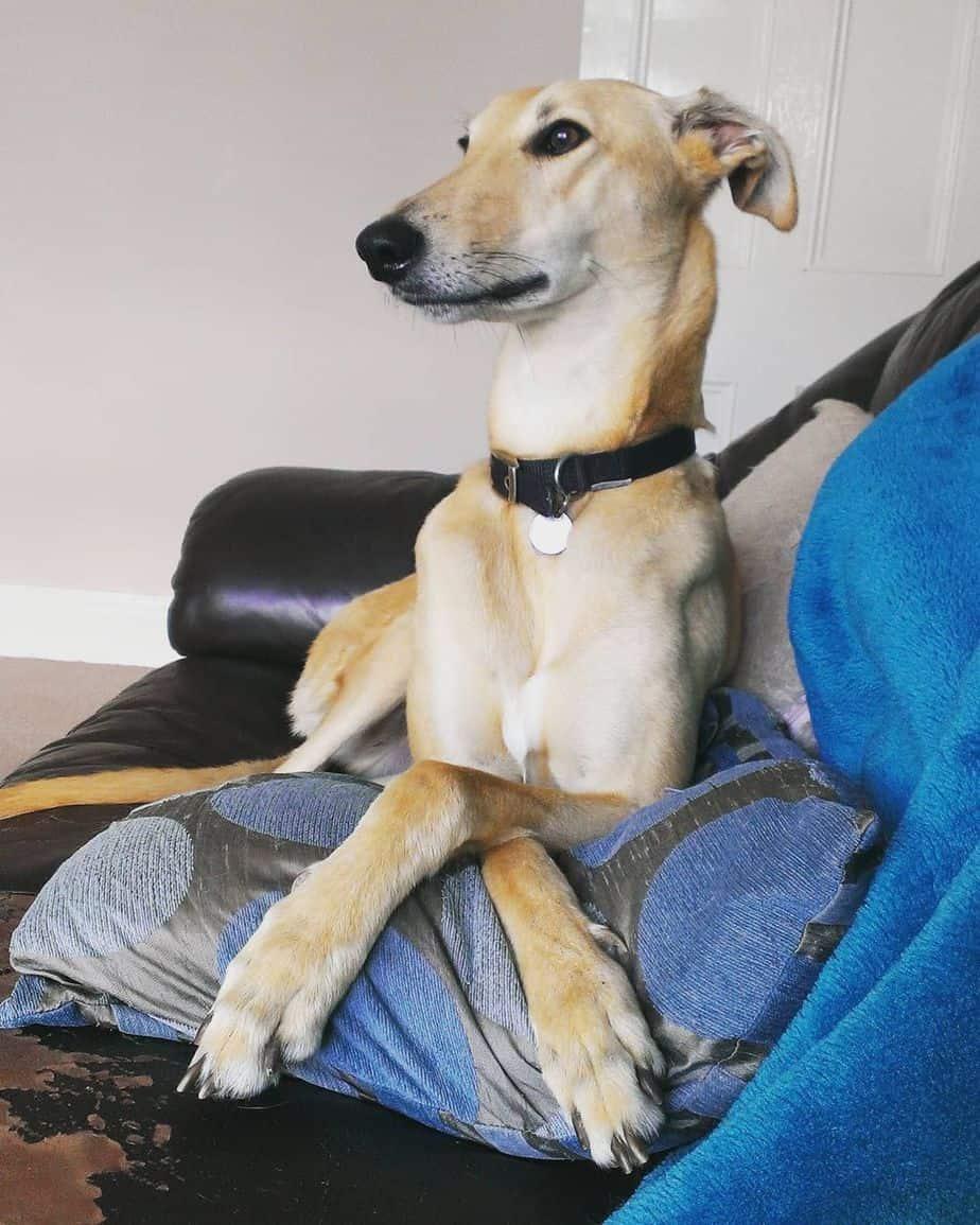 A Lurcher dog resting on a sofa