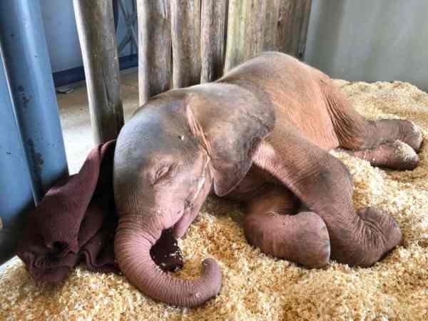 Khanyisa the albino elephant calf sleeping during her first day at HERD