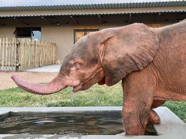 Khanyisa the albino elephant calf going for a bath