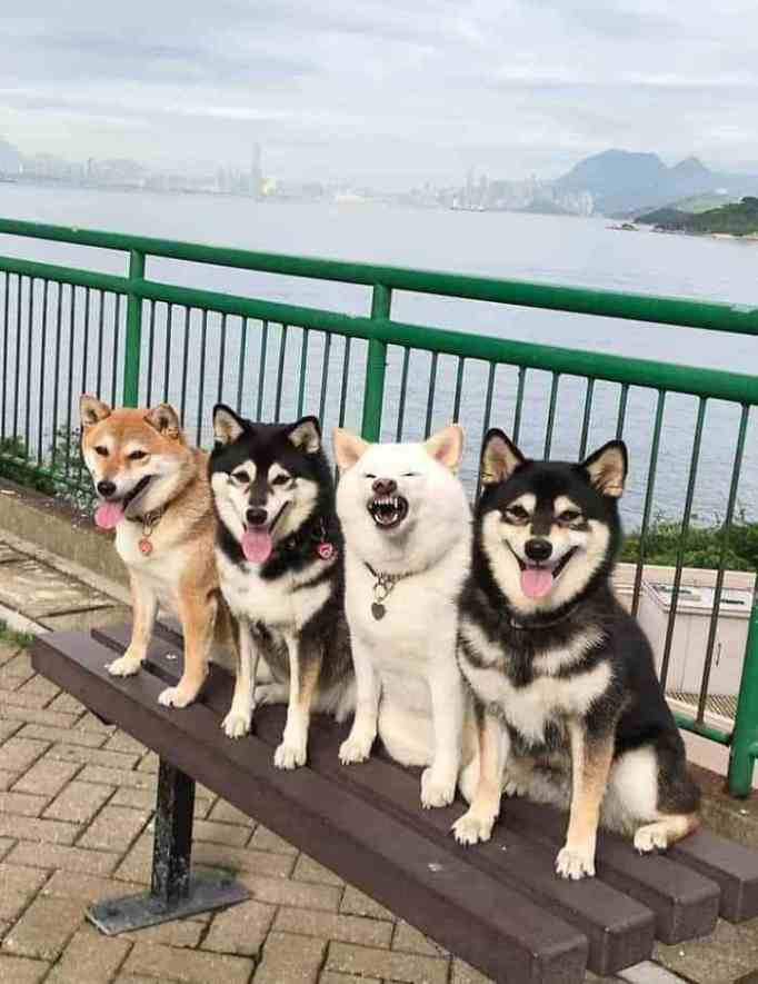 Shiba Inu dogs in Japan posing for a photo