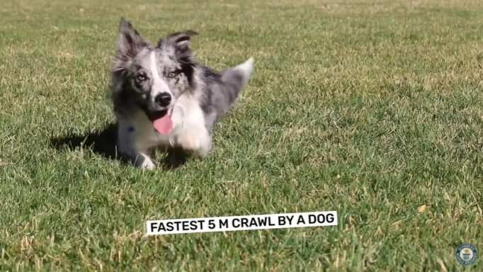 A border collie crawling on the grass