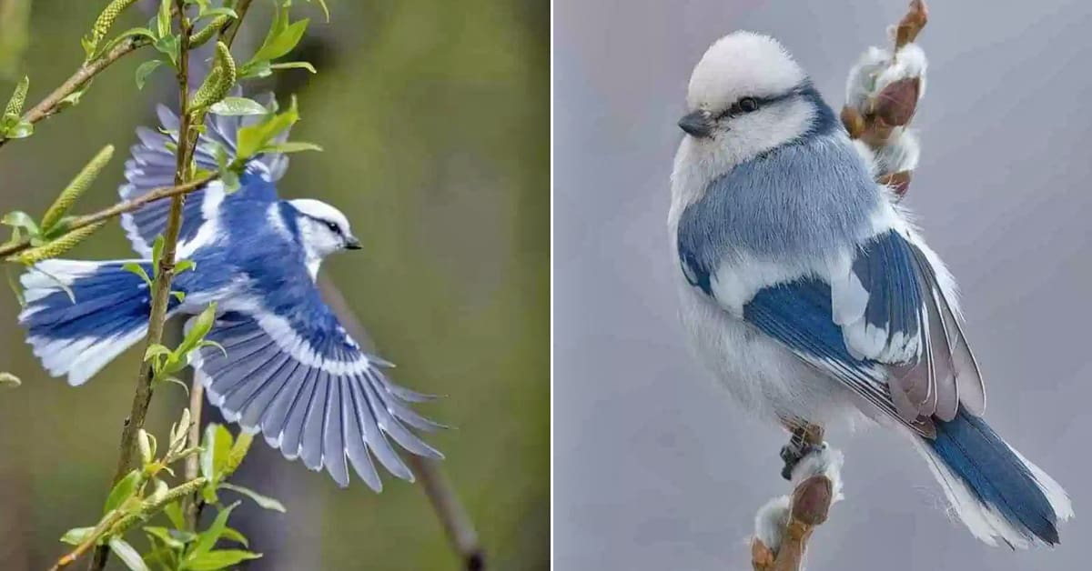The tiny blue and white Azure Tit is one of the cutest birds you'll ever see - my positive outlooks