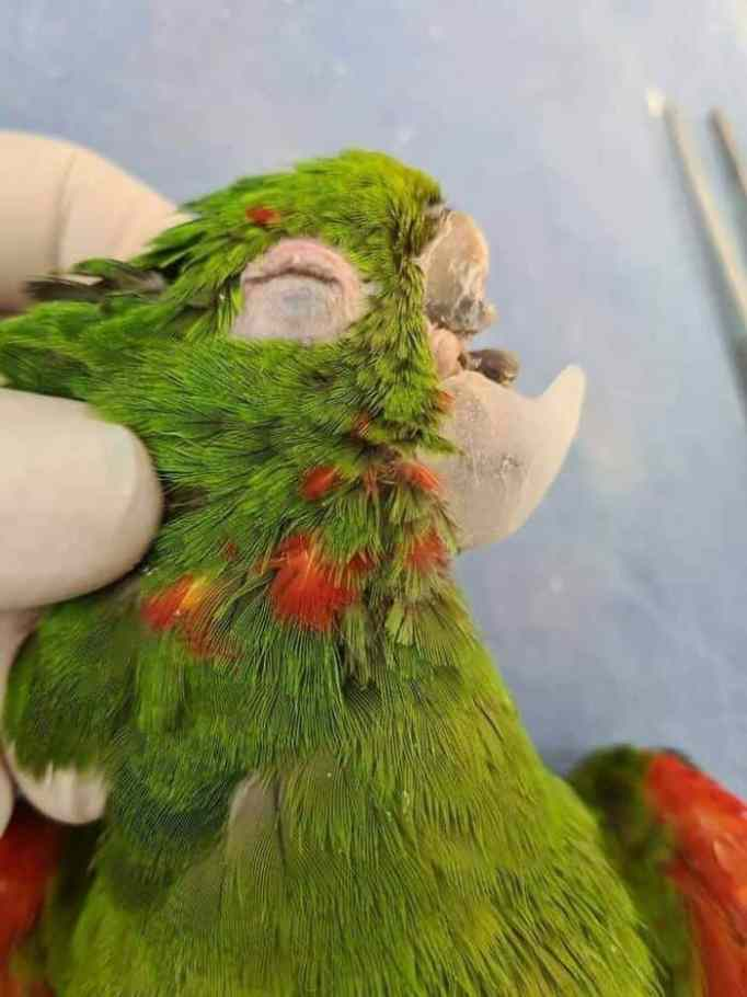 An unconscious bright green parrot with a lower beak made of resin