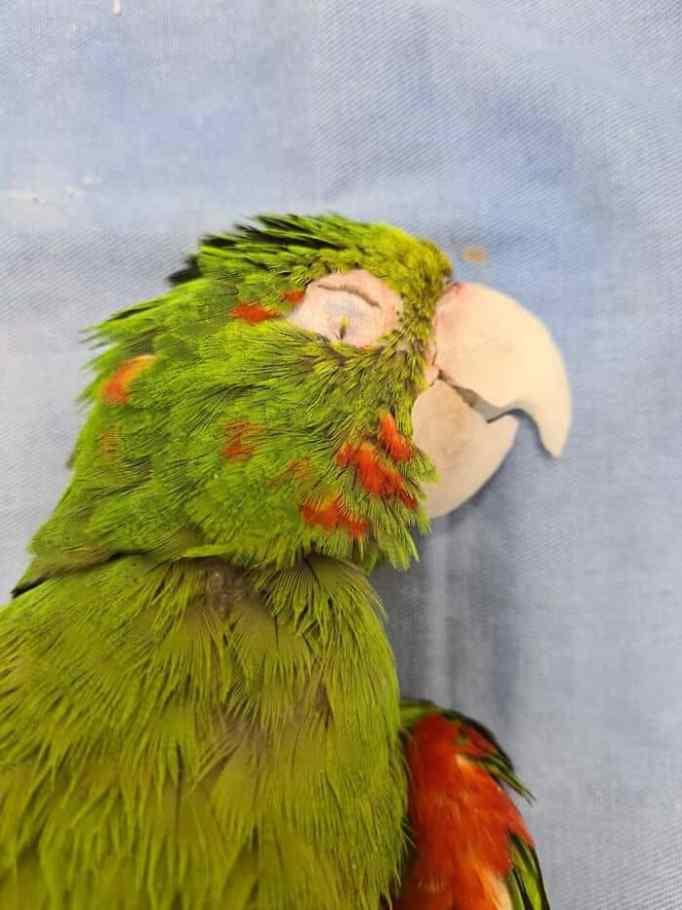 An unconscious bright green parrot with its new prosthetic beak