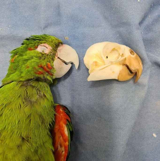 A bright green parrot with its new prosthetic beak