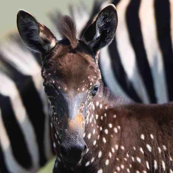 A rare polka-dotted zebra foal in Kenya