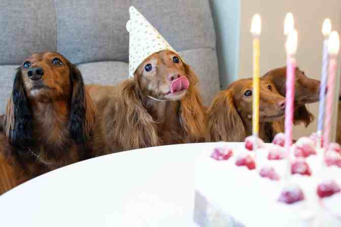 A picture of an adorable dog, celebrating her birthday.