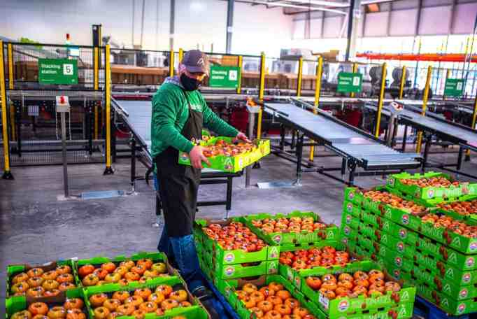 A man piling up containers carrying beefsteak tomatoes harvested from one of the indoor farms