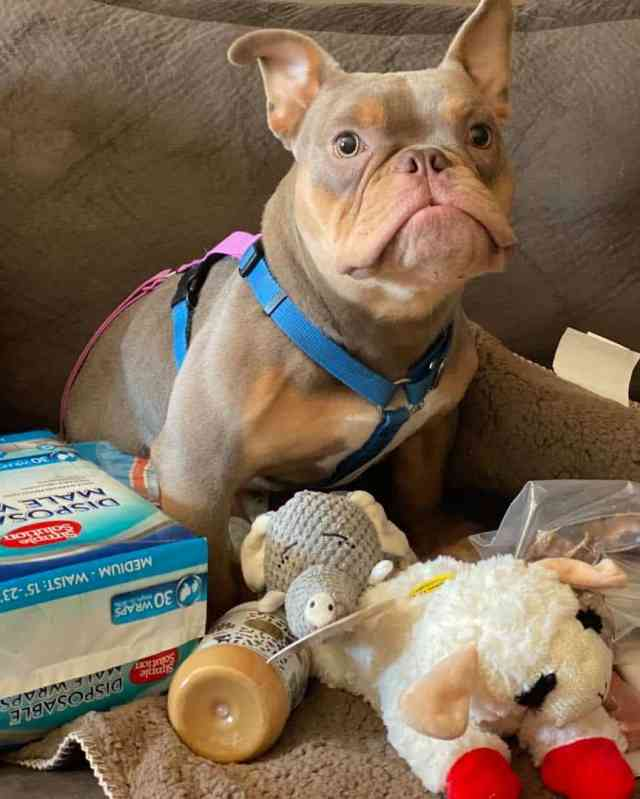 A young American Bully dog surrounded by toys, dog food, and diapers