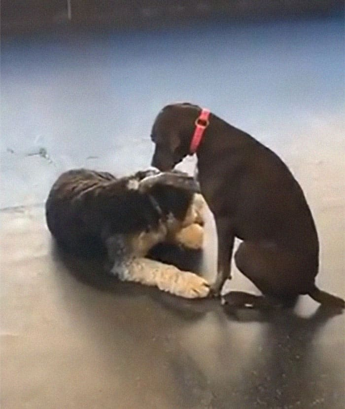 A dog petting another dog